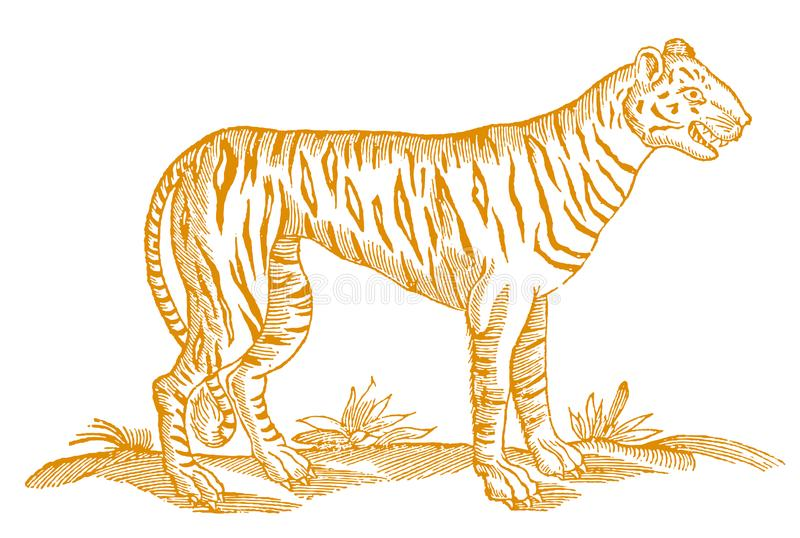 Tiger with open mouth showing the teeth in profile view. Illustration after a historic woodcut from the 17th century vector illustration