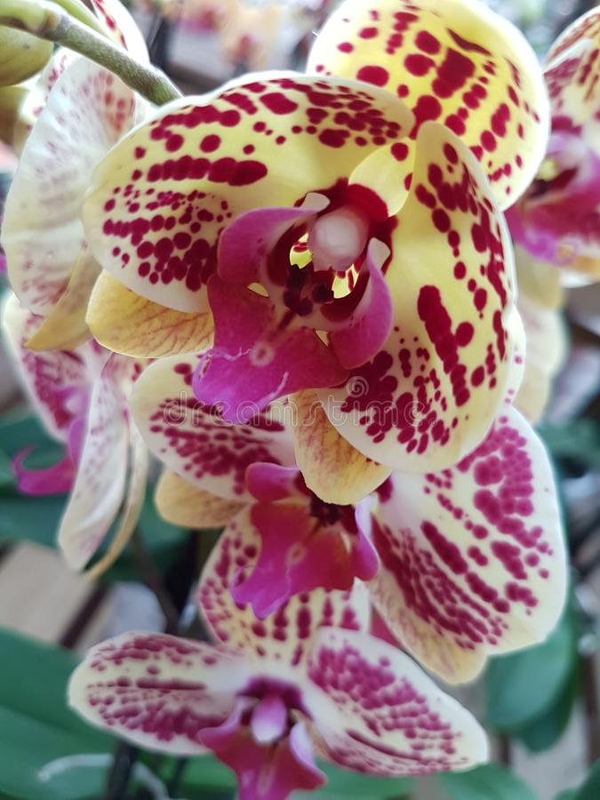 Tiger orchid in white and red royalty free stock image