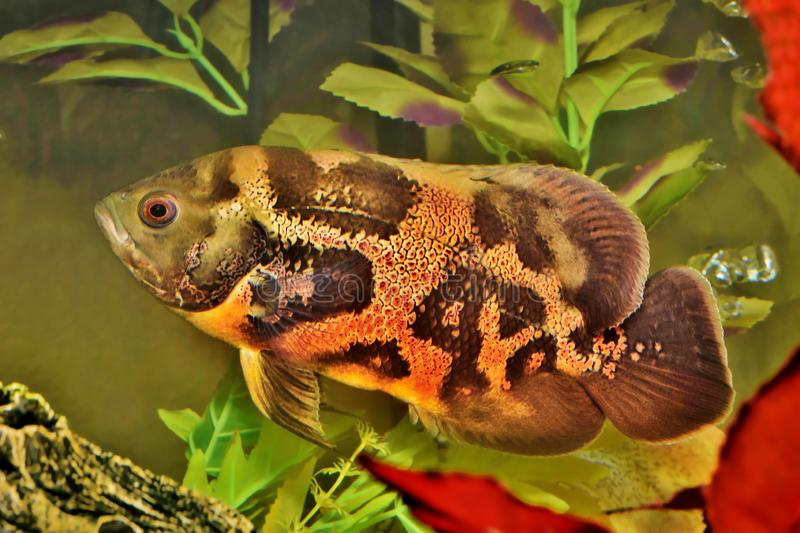 Tiger Oscar fish swimming in an aquarium. Tiger Oscar fish Astronotus ocellatus swimming in an aquarium. These creatures are natural predators native to the royalty free stock images