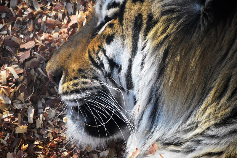 Tiger. A tiger in the outdoors royalty free stock photo