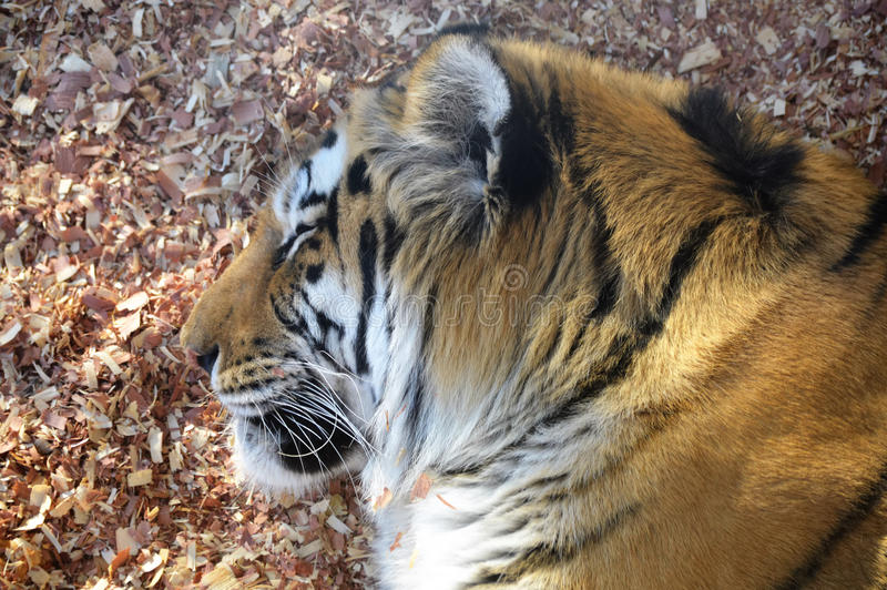 Tiger. A tiger in the outdoors royalty free stock image