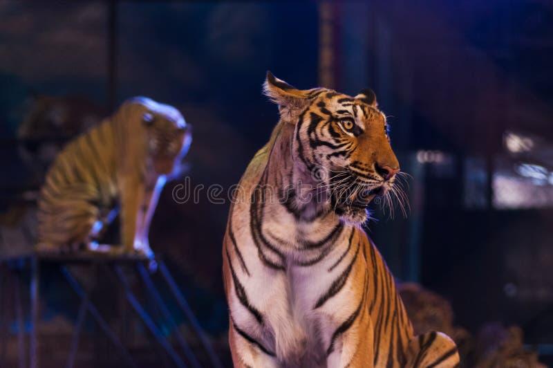 Tiger på cirkusarenan arkivfoto