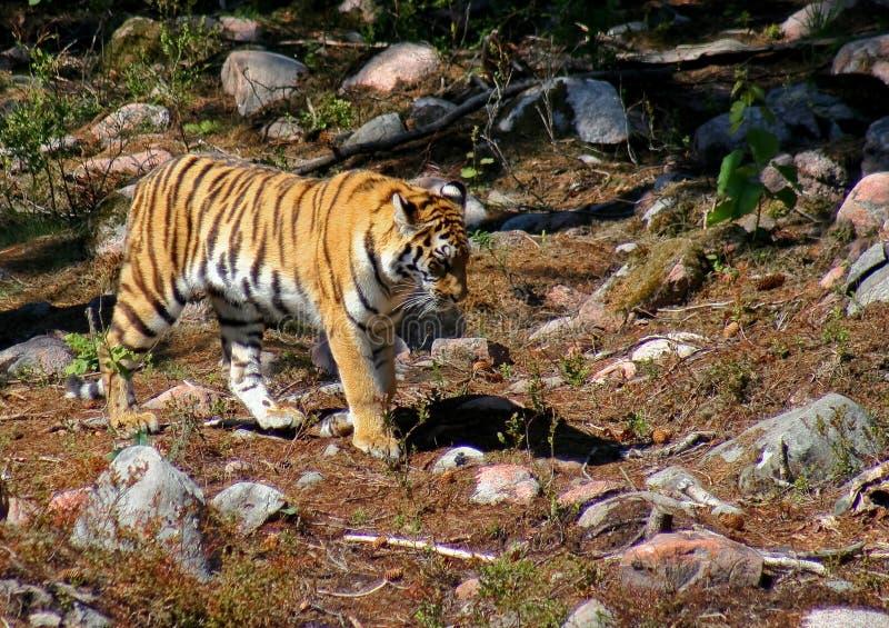 Tiger på flyttningen royaltyfria foton
