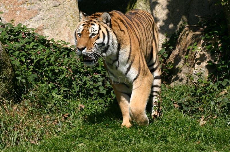 Tiger på kringstrykandet royaltyfria bilder