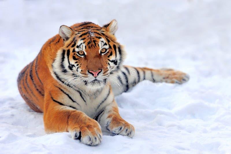 Tiger på snö royaltyfria bilder