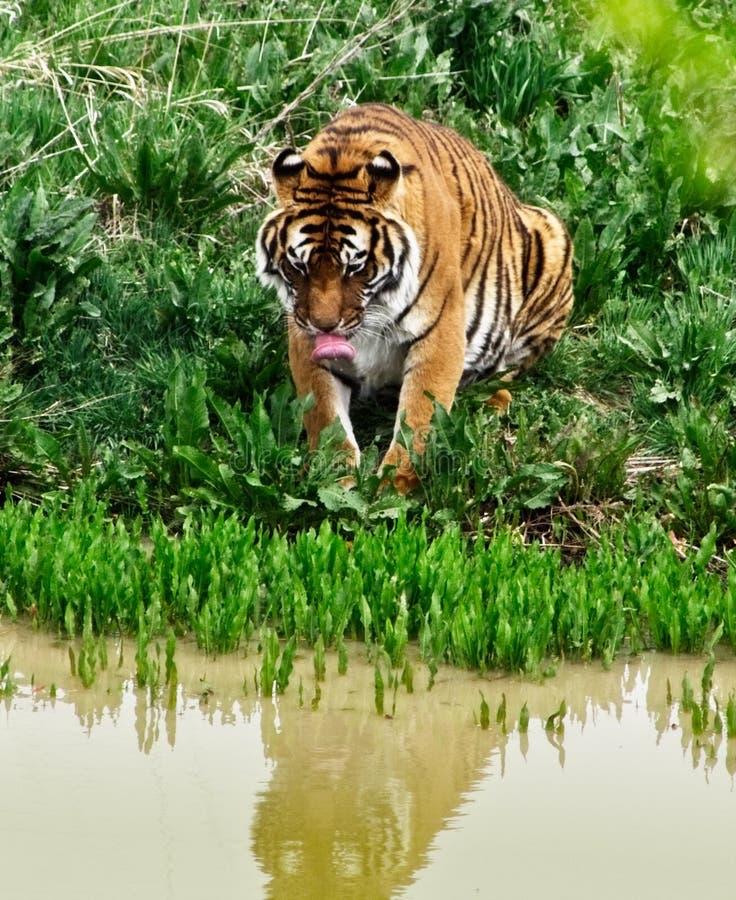 Tiger på strömmen som tar en drink fotografering för bildbyråer