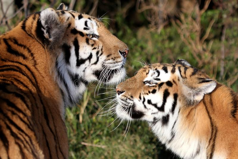 Download Tiger Pair stock image. Image of pair, undomesticated - 10188839