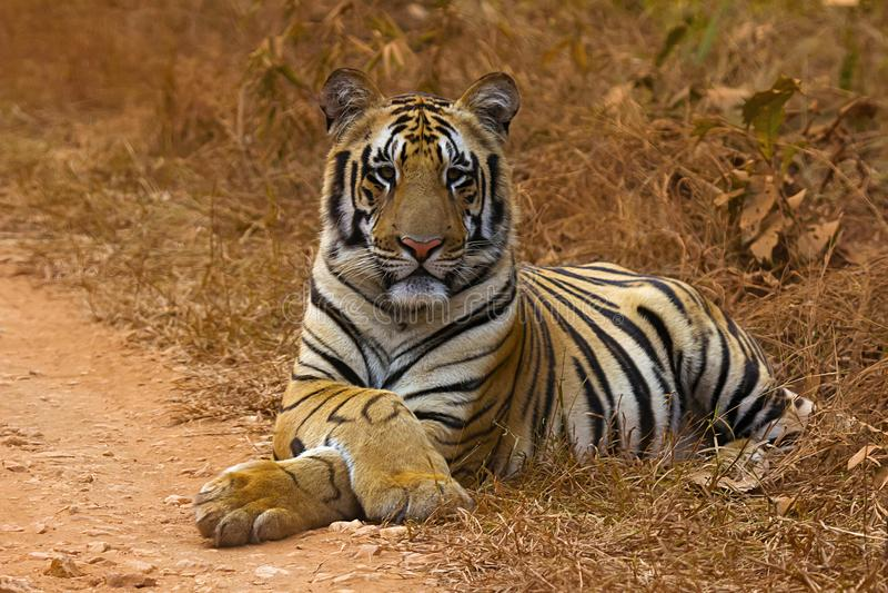 Tiger Panthera le Tigre le Tigre Jaichand, réserve naturelle d'Umred-Karhandla, maharashtra, Inde photo libre de droits