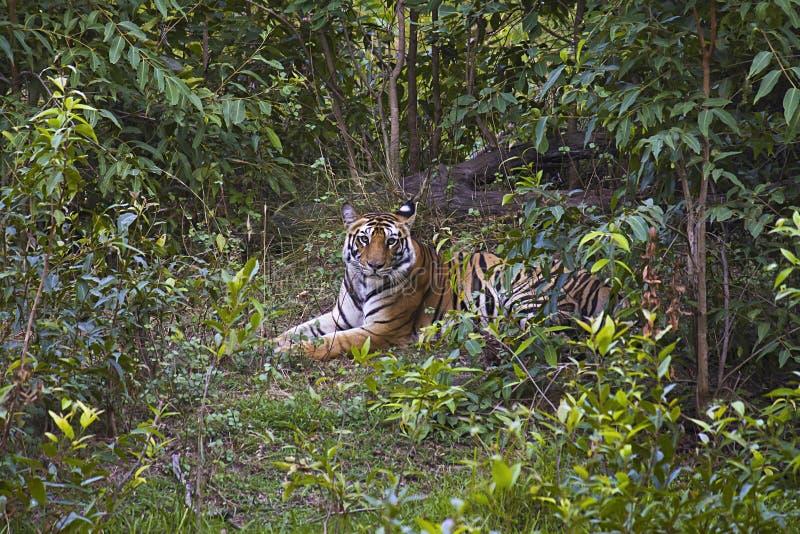 Tiger- Panthera tigris tigris. Banbehi female, Bandhavgarh Tiger Reserve, Madhya Pradesh, India. Tiger- Panthera tigris tigris at Banbehi female, Bandhavgarh stock photo