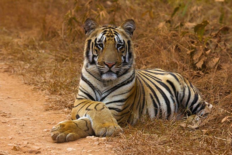 Tiger Panthera tigris tigris Jaichand, Umred-Karhandla djurlivfristad, Maharashtra, Indien royaltyfri foto
