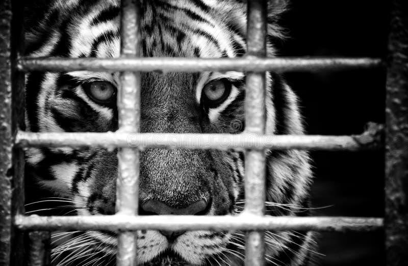 Tiger Panthera tigris ssp.altaica Siberian tiger wild animal beast royalty free stock photos