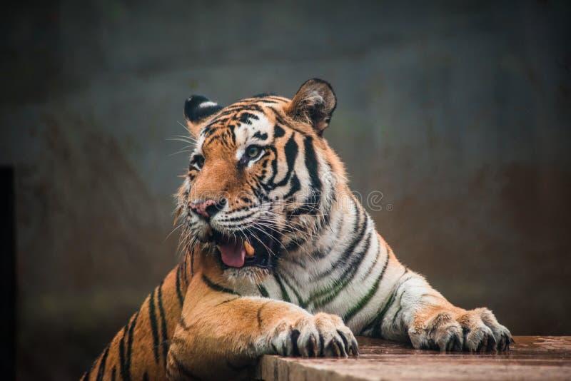 Tiger Panthera tigris ssp.altaica Siberian tiger wild animal beast stock photography