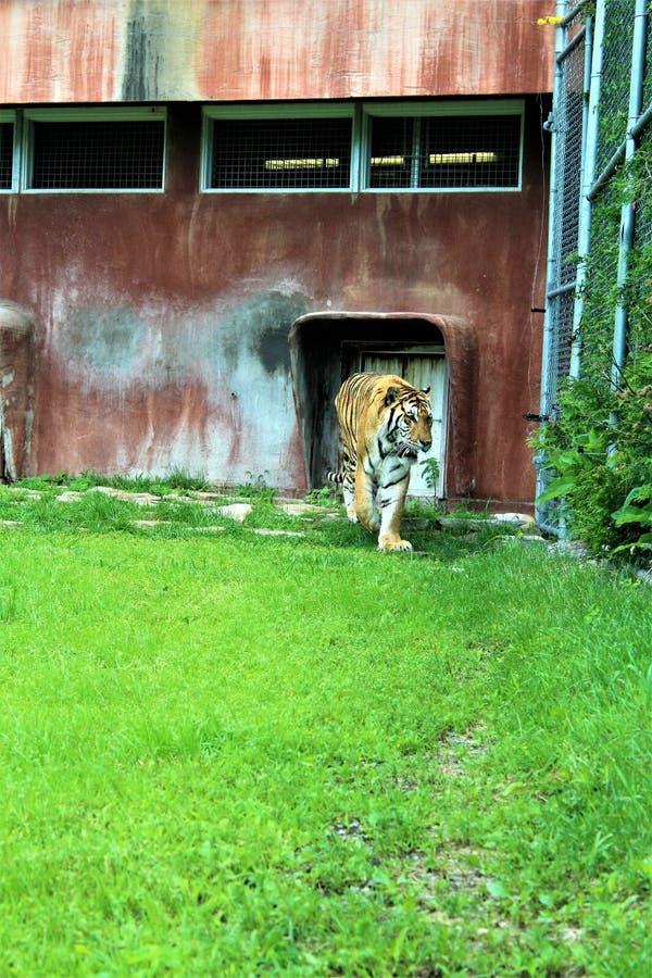 Parc Park Safari, Hemmingford, Quebec, Canada. Tiger at the Parc Park Safari, located in Hemmingford, Quebec, Canada royalty free stock images