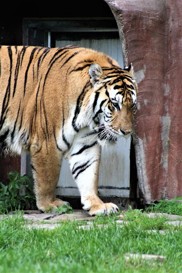 Parc Park Safari, Hemmingford, Quebec, Canada. Tiger at the Parc Park Safari, located in Hemmingford, Quebec, Canada stock images