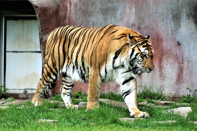 Parc Park Safari, Hemmingford, Quebec, Canada. Tiger at the Parc Park Safari, located in Hemmingford, Quebec, Canada stock photo