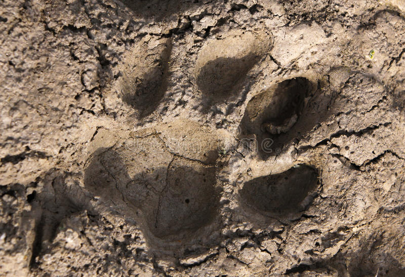 Tiger paw print. stock images