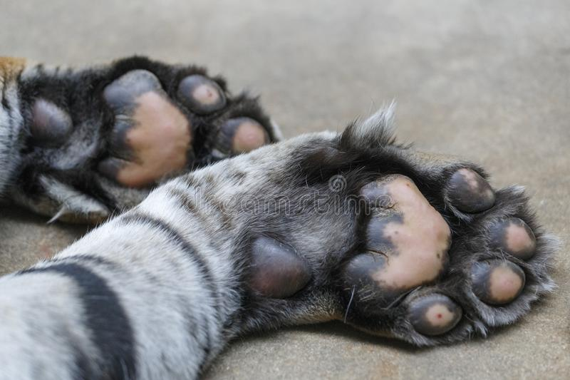 Tiger paws stock images