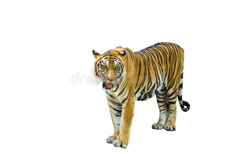 Tiger pictures on white background have different verbs stock photography