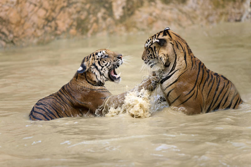 Tiger play royalty free stock photography