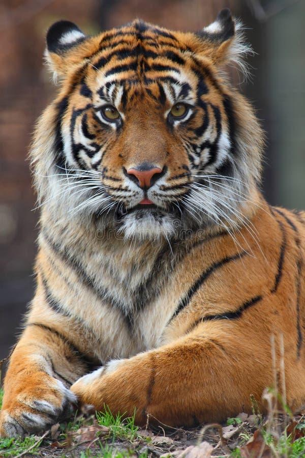 Tiger portrait. Close up shoot of tiger portrait stock photos