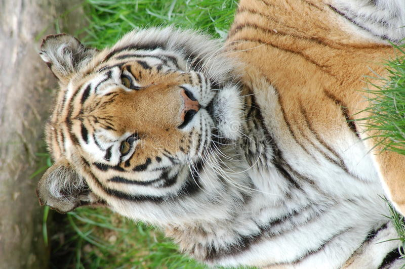 Tiger Portrait. A captive tiger portrait, close up royalty free stock image
