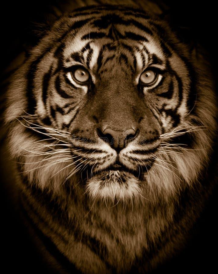Tiger Portrait. Dramatic tiger portrait close up stock images