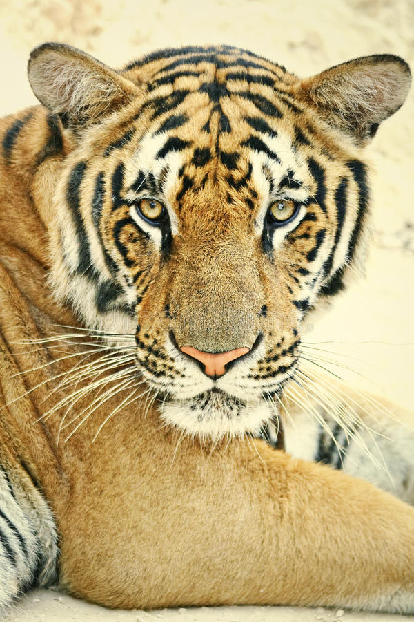 Tiger Portrait. A portrait of a tiger in captivity at the Tiger Temple, Thailand stock photo