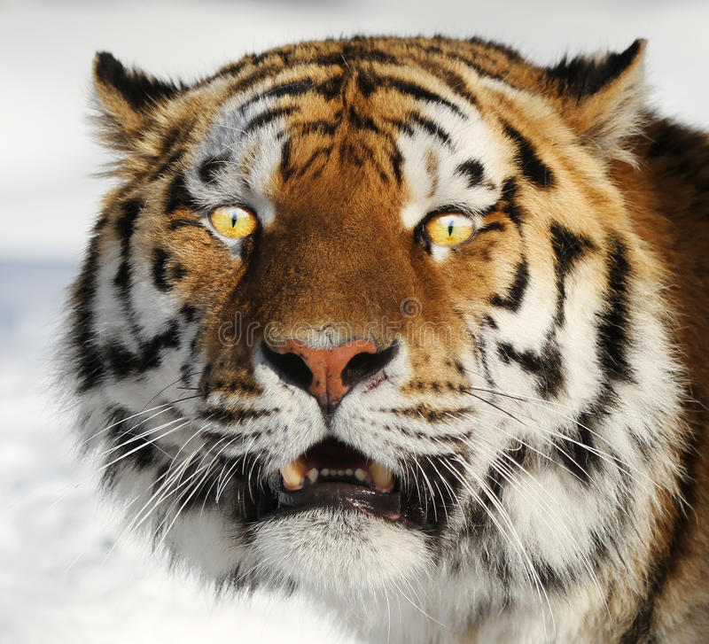 Download Tiger portrait stock image. Image of headshot, cute, beautiful - 22277153