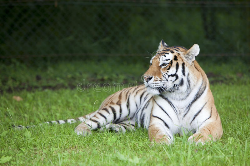 Tiger portrait. A portrait of a tiger sat on the grass stock photography