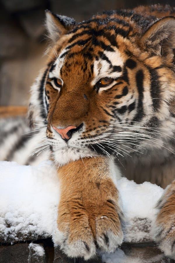 Tiger portrait stock images