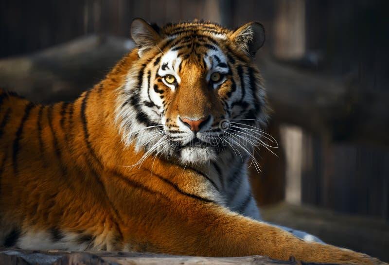 Tiger portrait. Yiung tiger portrait. Novosibirsk ZOO stock photos