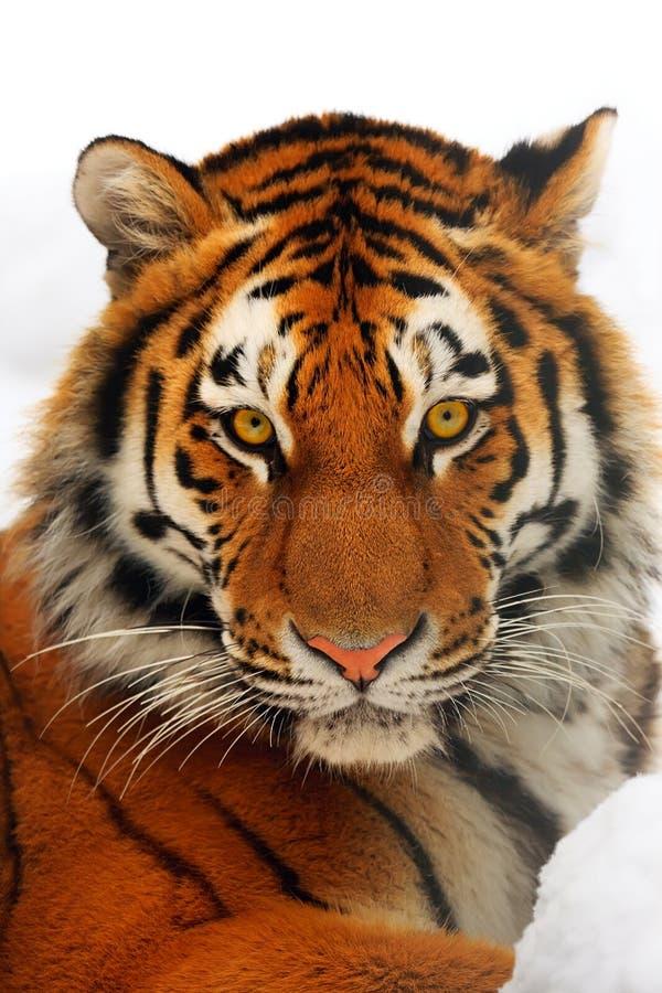 Tiger portrait. Yiung tiger portrait. Novosibirsk ZOO stock photo