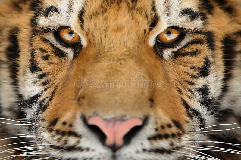 Tiger portrait. Aggressive stare face. Danger look. Siberian tiger face detail. Aggressive stare look meaning danger for the prey. Closeup view to angry stock photography