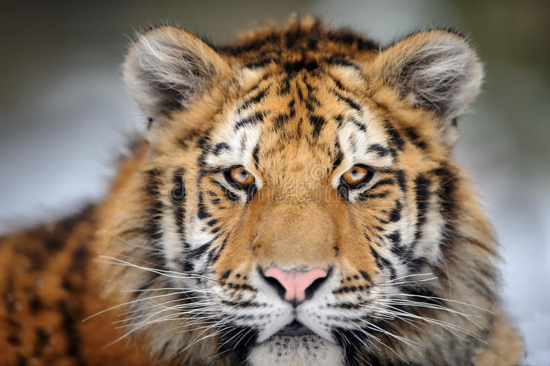 Tiger portrait. Aggressive stare face. Danger look. Siberian tiger portrait. Aggressive stare face meaning danger for the prey. Closeup view to angry expression royalty free stock images