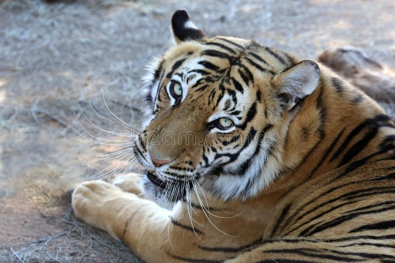Tiger Portrait. Beautiful tiger with black stripes and long whiskers royalty free stock images