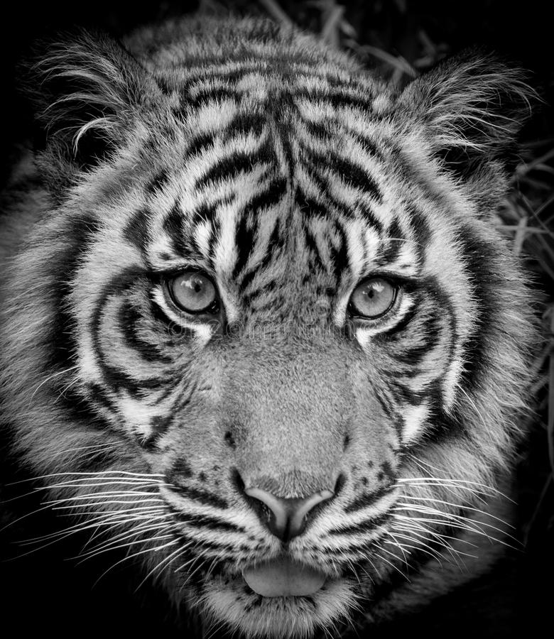 Tiger portrait. Beautiful close up of a tiger royalty free stock images