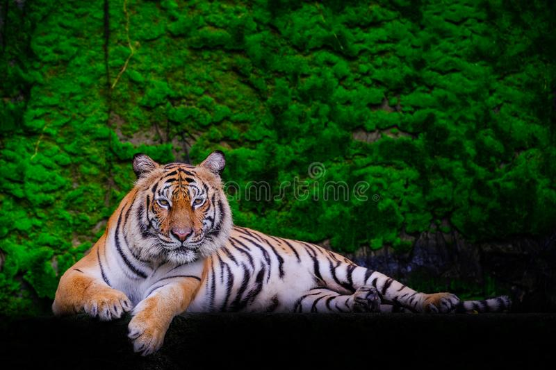 Tiger portrait of a bengal tiger. In thailand stock photos