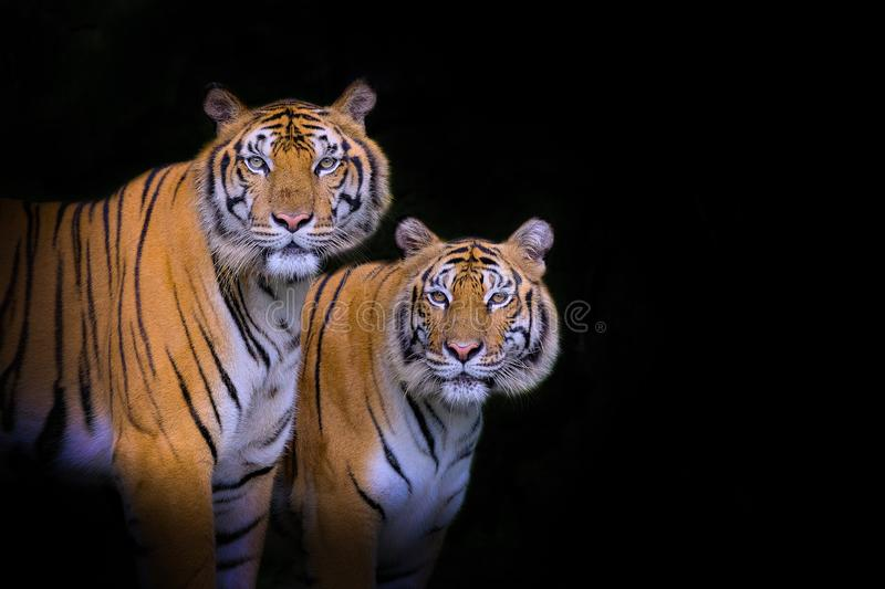 Tiger portrait of a bengal tiger. In thailand stock photography