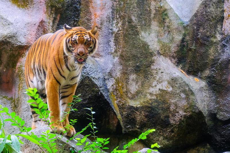 Tiger portrait of a bengal tiger. In Thailand stock images