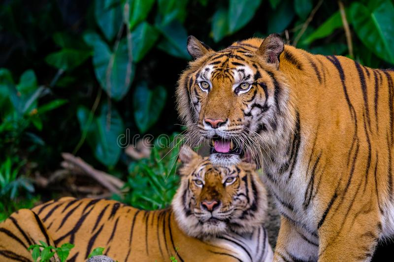 Tiger portrait of a bengal tiger. In Thailand royalty free stock photography