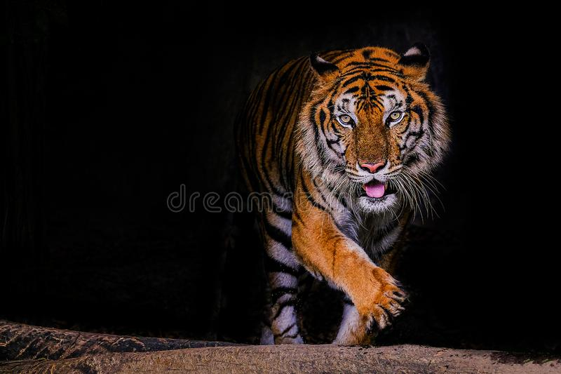 Tiger portrait of a bengal tiger in Thailand on black background royalty free stock image