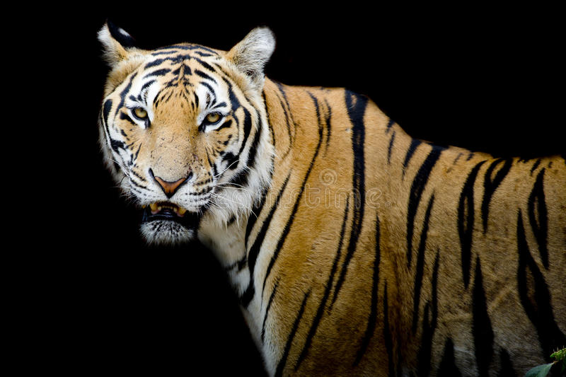 Tiger, portrait of a bengal tiger. Closeup Tiger portrait animal wildlife on black color background royalty free stock images