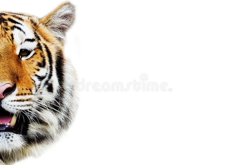 Tiger, portrait of a bengal tiger. Isolated on White background royalty free stock photos