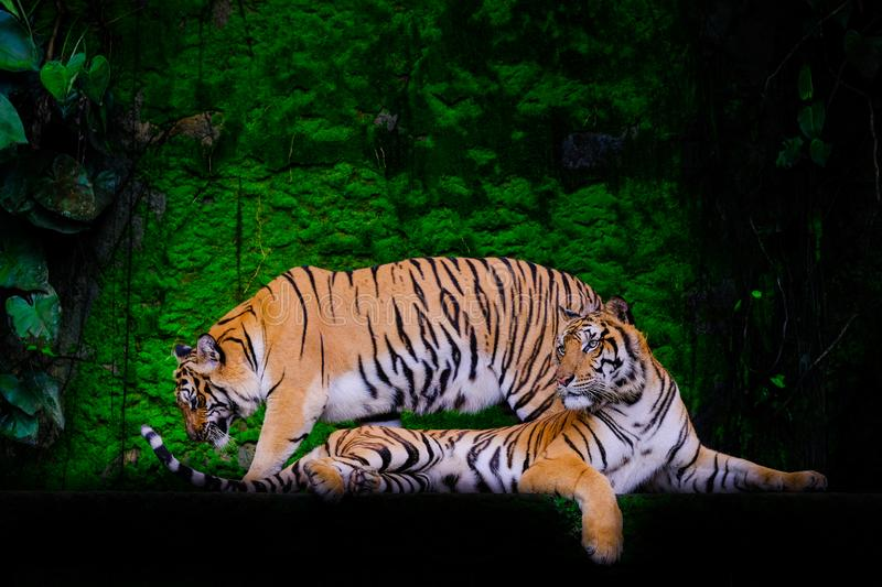 Tiger portrait of a bengal tiger. In thailand stock image