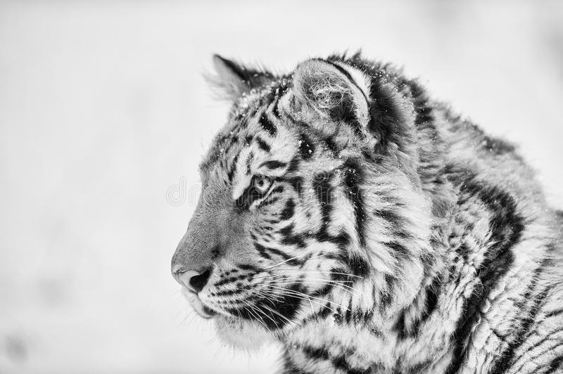 Tiger portrait in black and white stock photography