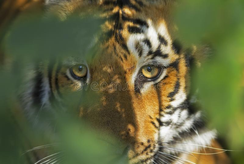 Tiger Portrait. A Tiger in the bush, Corbett National Park, India royalty free stock photo