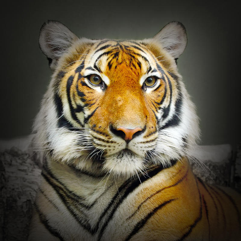 The Tiger portrait. stock photos