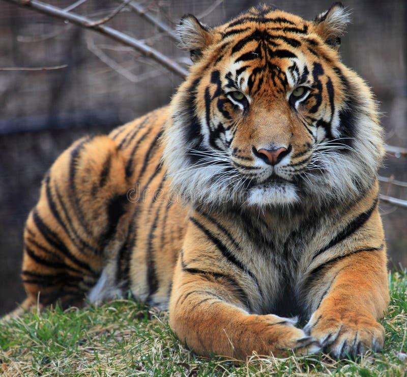Tiger portrait. Close up shot of tiger portrait royalty free stock photo