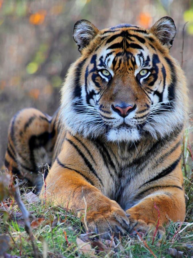 Tiger portrait. Close up shot of tiger portrait stock photography