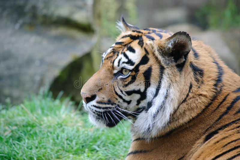 Tiger portrait. Tiger close up portrait in summer royalty free stock image